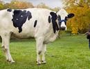 Con bò cao nhất thế giới qua đời