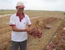 Lãi 300 triệu đồng/ha nhờ...trồng hành tím