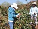 Hơn 1.600 hecta cà phê chết cháy vì sương muối