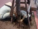 Xử lý nghiêm sai phạm trong vụ cây bật gốc lộ bầu đất bọc nilon