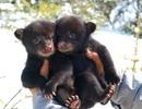 Âu yếm ngắm nhìn những chú gấu con cực kỳ đáng yêu