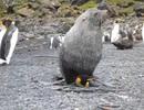 """Hải cẩu bị bắt quả tang """"abc"""" chim cánh cụt"""