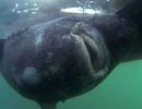 Bắt được cá mập nặng 565 kg bằng... cần câu