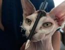 Gặp gỡ con mèo sống sót dù bị tên phóng xuyên qua đầu