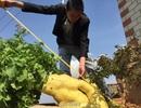 Củ cải khổng lồ nặng hơn 15 kg tại Trung Quốc