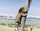 Gặp trâu, sư tử phi lên cây trốn