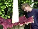 Kéo nhau đi xem hoa xác thối nở 10 năm một lần
