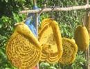 Mật ong rừng pha nước lã bịp người ham rẻ