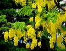 Mùa hoa Osaka vàng nở rộ trên đất Cố Đô
