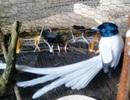 Hiếu kỳ với chim lạ đầu xanh, đuôi dài gần nửa mét