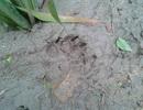 Hổ lại gầm động rừng Yên Bái
