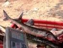 Tái phát nạn cá tầm Trung Quốc tấn công thị trường Việt Nam