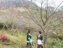 Chuyện người Mông trồng đào