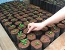 Mô hình mới tại Tây Nguyên: Trồng cà phê từ… lá