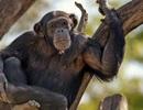 Tại sao não người to hơn não động vật có vú?