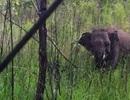 """Nhọc nhằn """"giải cứu"""" chú voi hoang dã 6 tuổi bị dính bẫy thú"""