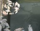 Ngư dân hoang mang vì cá biển chết hàng loạt