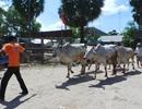 Chợ bò độc nhất miền Tây nhộn nhịp ngày cuối năm