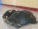 """Chuyện về hai cụ rùa trăm tuổi nghe kinh Phật, """"hái"""" ra tiền"""