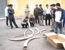 Bắt vụ buôn lậu ngà voi cực lớn tại TPHCM