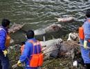 Trung Quốc: Số lợn chết trôi sông tăng lên gần 6.000 con
