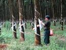 HA.GL và Tập đoàn Cao su VN bị cáo buộc phá rừng ở nước ngoài