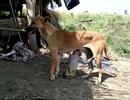 Xúc động chó mẹ nhận khỉ mồ côi bị bắt nạt làm con, cho bú tí