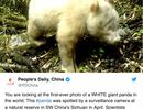 Loài gấu trúc hiếm nhất thế giới lần đầu lọt ống kính camera ở Trung Quốc