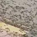 Bầy châu chấu hàng triệu con xâm chiếm đường phố