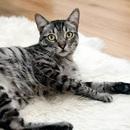 Tìm thấy dấu hiệuSARS-CoV-2 lây lan trong quần thể mèo ở Vũ Hán