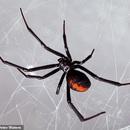 Ba anh em để nhện độc cắn vì muốn trở thành... Người Nhện