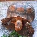 Thả rùa nguy cấp quý hiếm về rừng