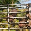 Bí mật khủng khiếp về dầu dừa