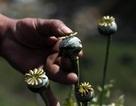 Trung Quốc phát hiện 35 nhà hàng dùng hoa thuốc phiện làm gia vị