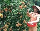 Chôm chôm nở rộ trên đất miền Trung: Vừa được mùa vừa được giá