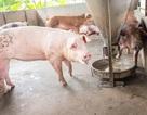 Chất cấm trong chăn nuôi: Biến nhận thức thành hành động!