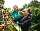 Người phụ nữ 50 năm kế thừa di sản cà phê Buôn Mê