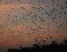 Đàn chim hàng ngàn con tụ về giáo xứ
