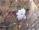 Thú chơi hoa mai trắng của người Hà thành