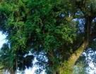 """Chuyện đời của """"cụ cây"""" từng trải qua 7 thế kỷ tại Việt Nam"""