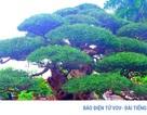 Cận cảnh những cây phi lao cổ có giá hàng trăm triệu đồng