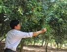Nông dân điêu đứng vì trồng mắc ca không ra trái
