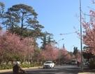 Lần đầu tiên tổ chức Ngày hội hoa mai anh đào Đà Lạt