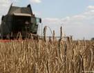 """Ukraine trở thành """"vựa lúa"""" lớn nhất của Trung Quốc"""