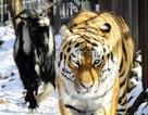 Hổ làm bạn với con mồi
