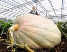 Ngỡ ngàng quả bí ngô cao 1,7m lớn nhất nước Anh