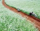 Gợi ý những điểm ngắm hoa cải trắng tuyệt đẹp ở Mộc Châu