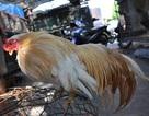 Chiêm ngưỡng gà quý thuần chủng đuôi dài cả mét giá nghìn đô
