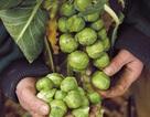 Trồng bắp cải tí hon - thu hoạch sướng tay