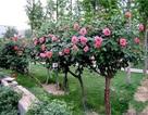 Chiều lòng sếp bà, cây hồng 100 bông 50 triệu đồng